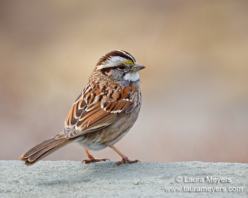 White-throated_Sparrow