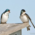 Two Tree Swallows Communicating