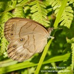 Northern Pearly-eye Butterfly