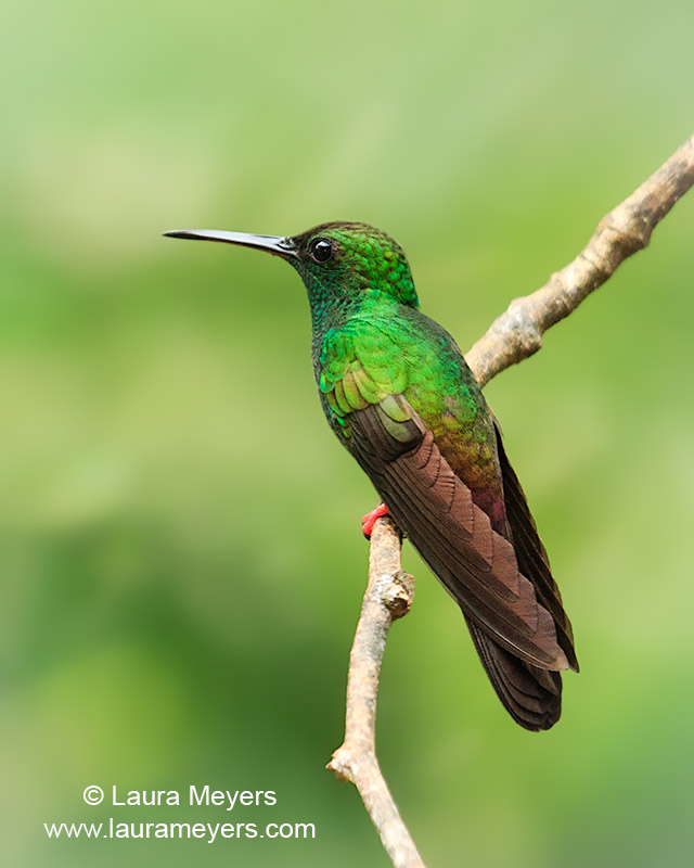 Bronze-tailed Plumeleteer Hummingbird