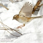 White-throated Sparrow in Flight