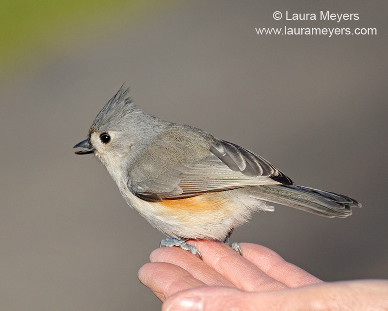 Tufted-titmouse on Hand