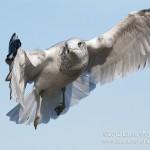 Ring-billed Gull in Flight