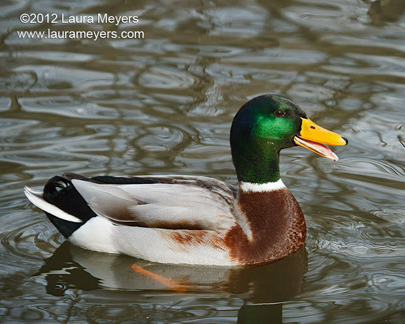 Mallard Duck Male with Beak Open