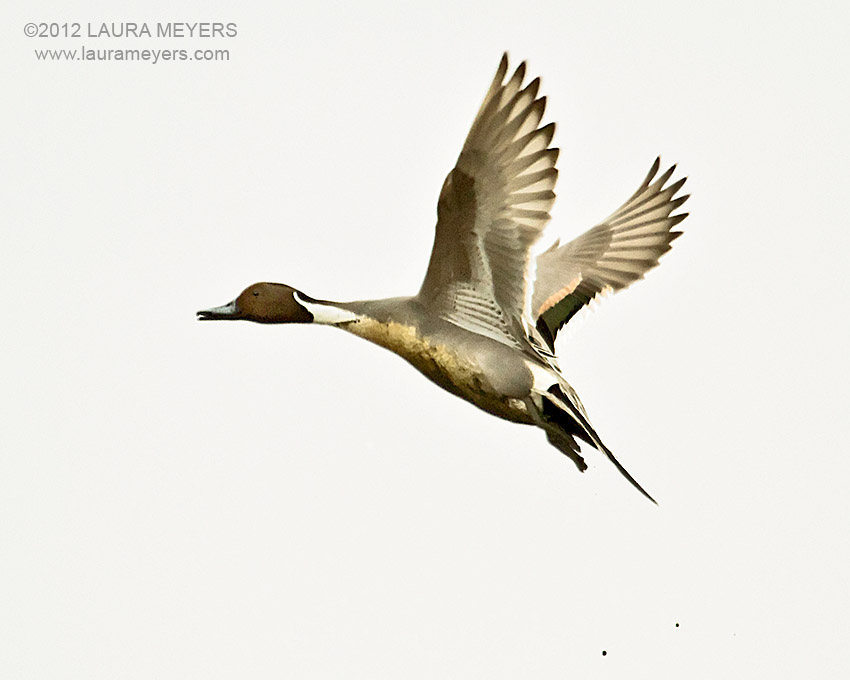 Gallery Northern Pintail Duck Flying
