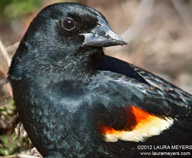 Red-winged Blackbird Closeup Portrait