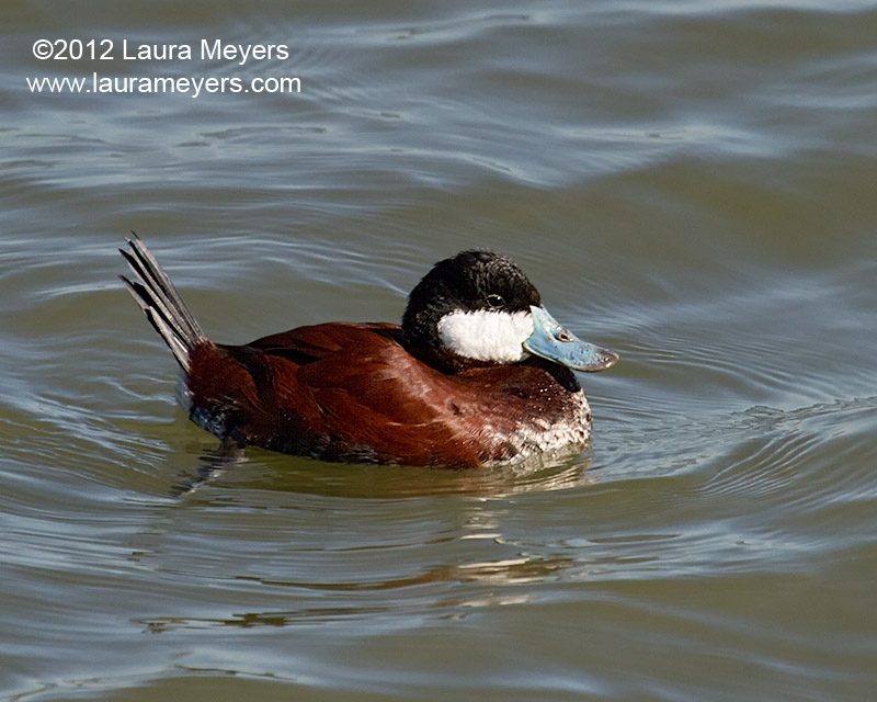 Ruddy Duck Male Breeding