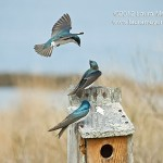 Three Tree Swallows at Jamaica Bay Wildlife Refuge