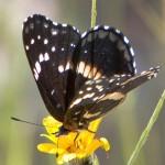 Gila Butterfly