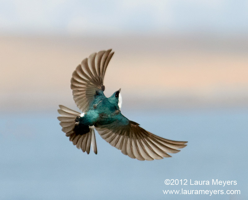 Tree Swallow in Flight