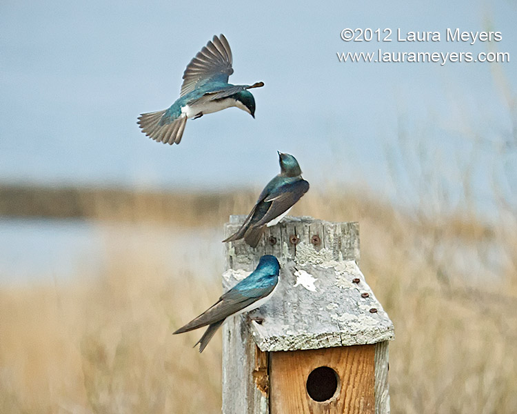 Tree Swallows in Flight