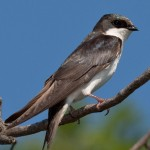 Tree Swallow Juvenile