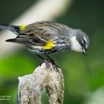 Yelow-Rumped Warbler