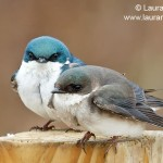 Tree-Swallows on Post