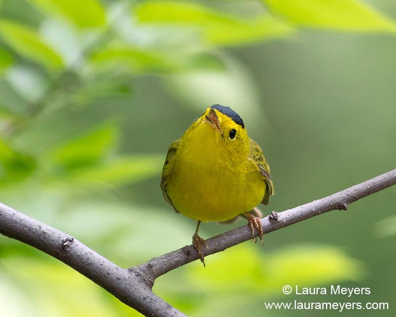 Wilson's Warbler Singing