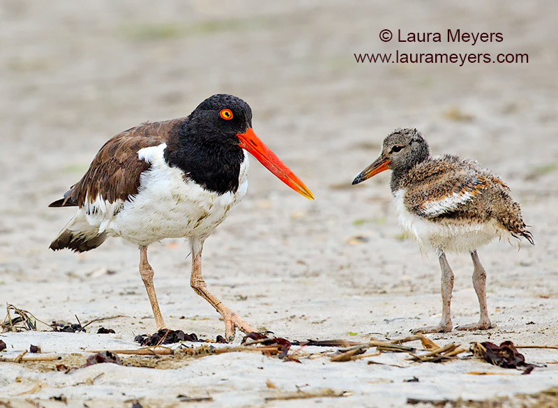 American Oystercatcher Adult and Chick