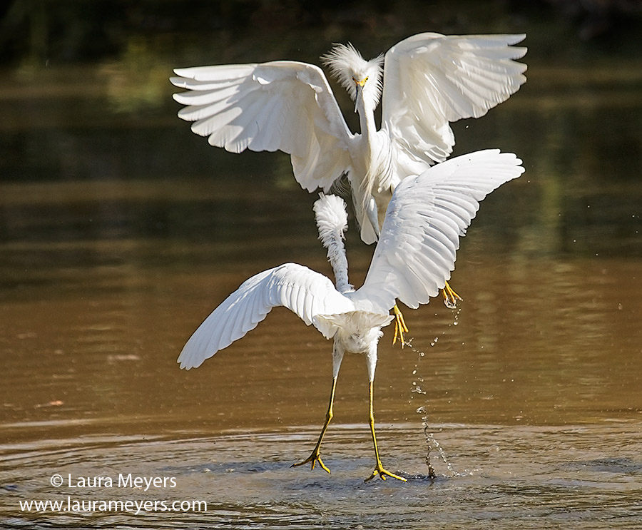 Snowy Egrets Sparring