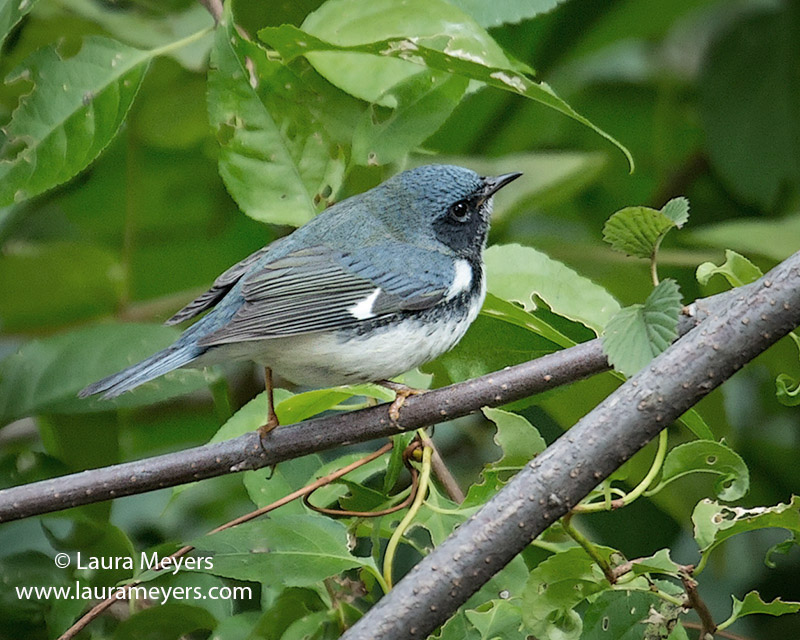 Black-throated Blue Warbler Male