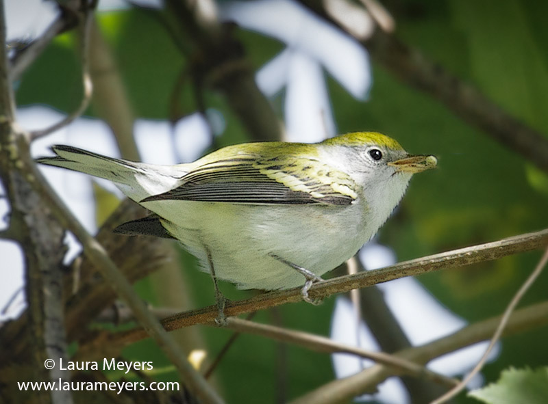 Chestnut-sided Warbler Male Nonbreeding