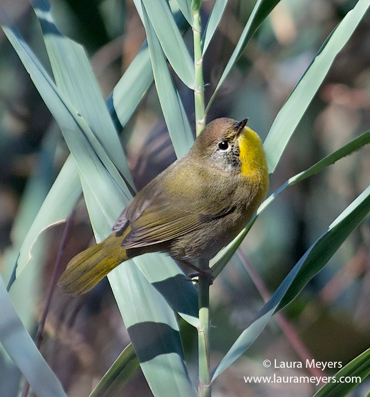 Common Yellowthroat Warbler Immature Male