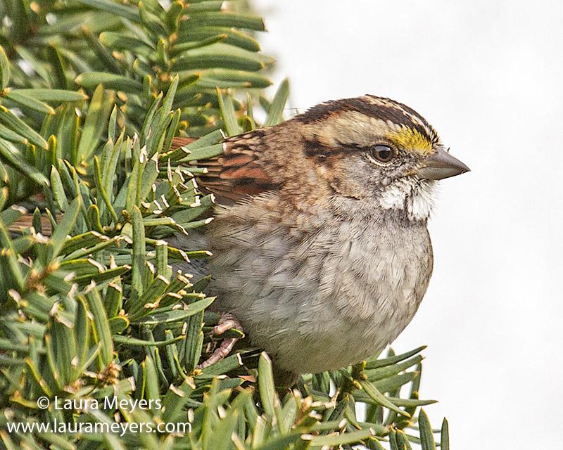 te-throated Sparrow Closeup