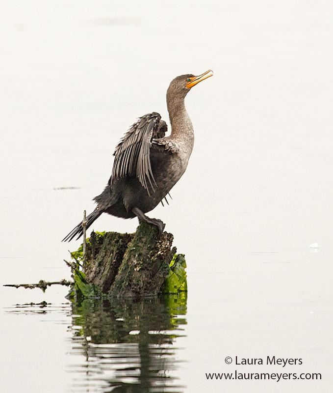 Double-crested Cormorant Immature
