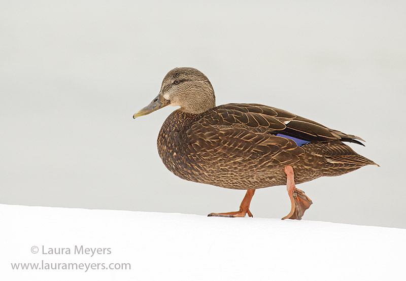 American Black Duck on Snow