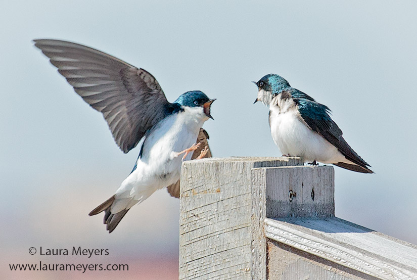 Tree Swallows on Box