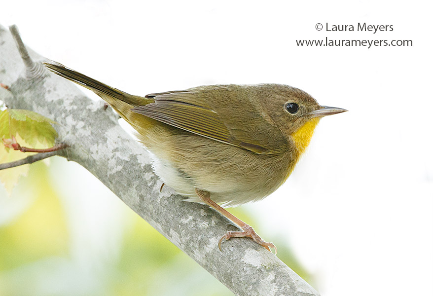 Common Yellowthroat Female Warbler