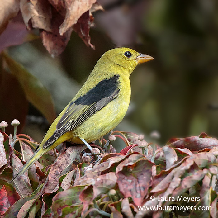 Scarlet Tanager Male Non Breeding