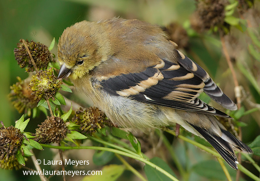 American Goldfinch Eating Seeds