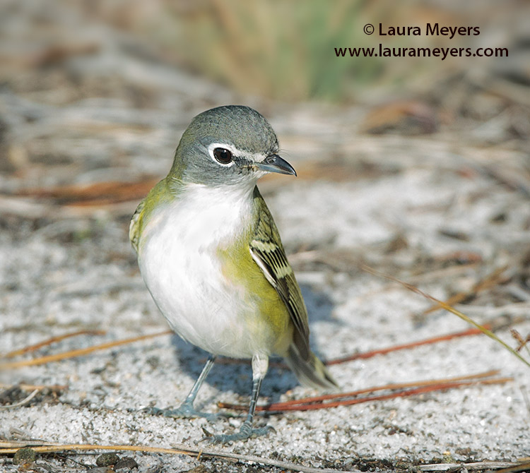 Blue-head Vireo
