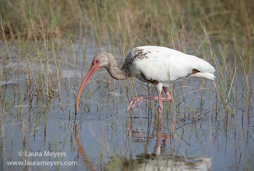 White Ibis Immature Feeding