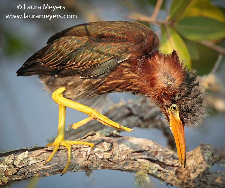 Green Heron Immature