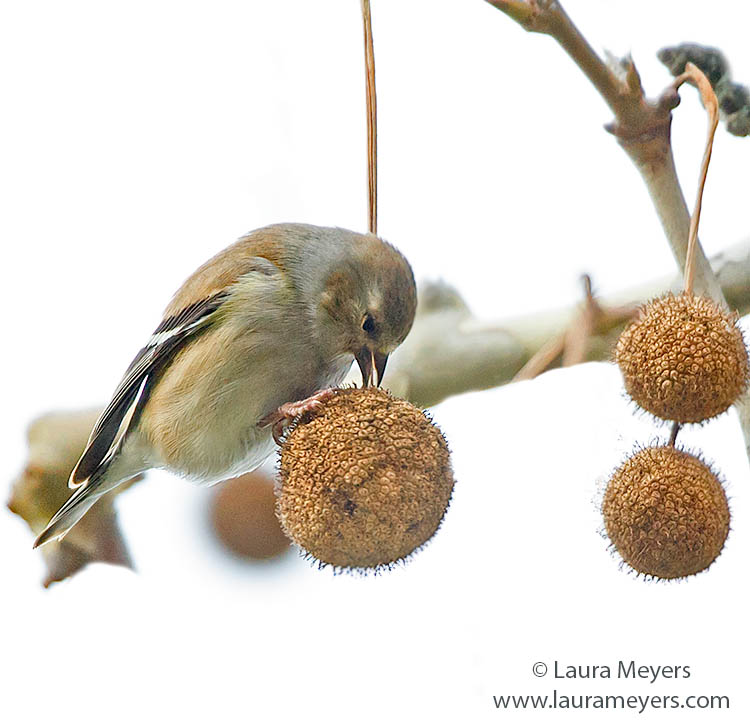 American Goldfinch on Sycamore Ball