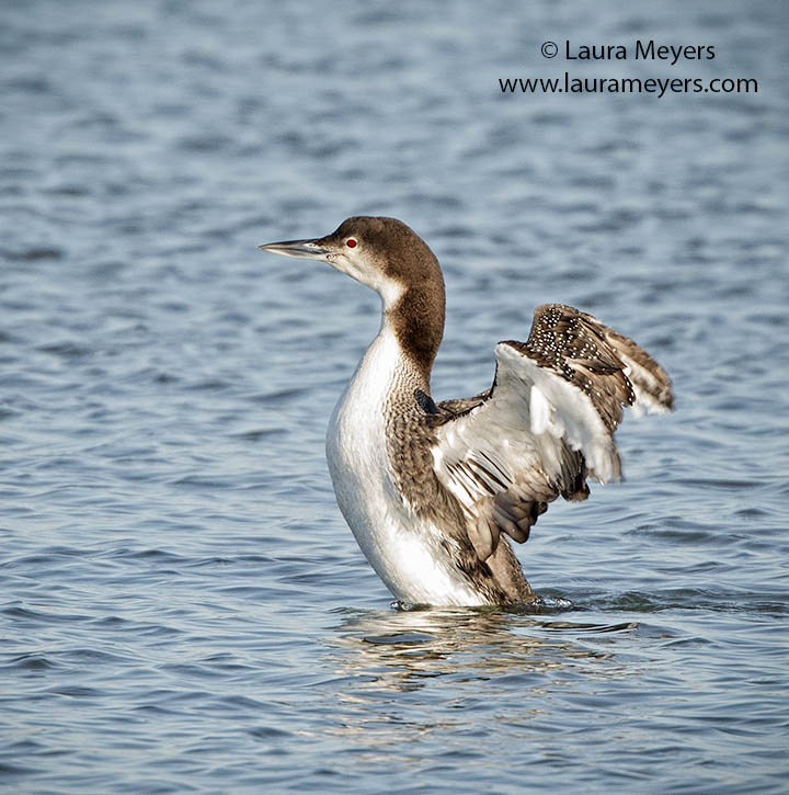 Common Loon Nonbreeding
