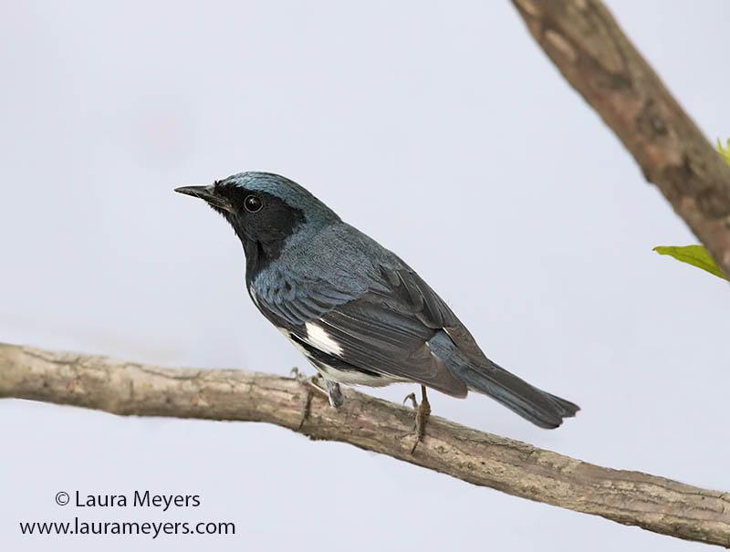 Black-throated Blue Warbler Male
