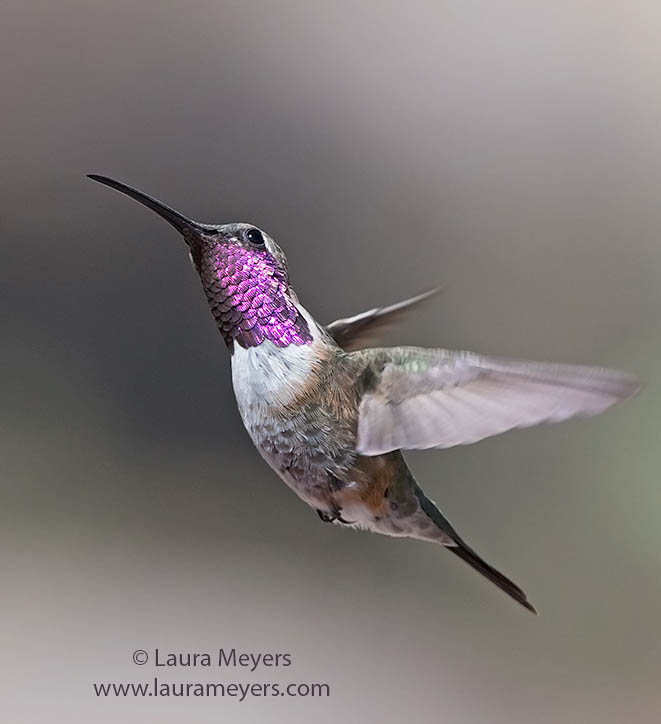 Lucifer Hummingbird Adult  Male in Flight