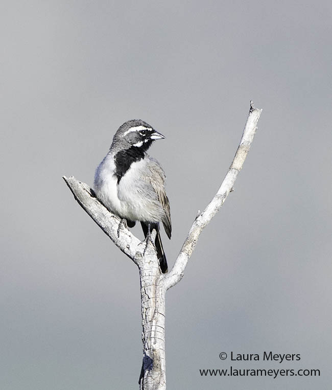 Back-throated Sparrow