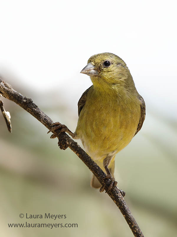 Lesser Goldfinch Female Adult