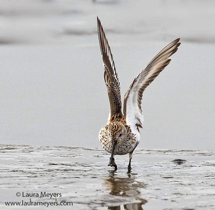 Dunlin Wings Up