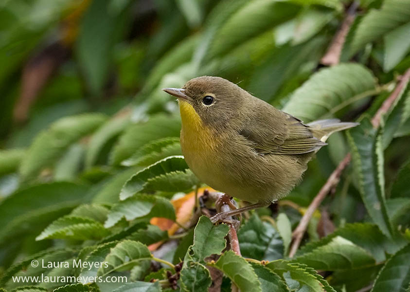 Common Yellowthroat Warbler Female