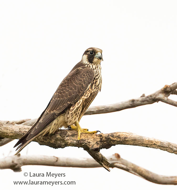 Peregine Falcon Sub Adult