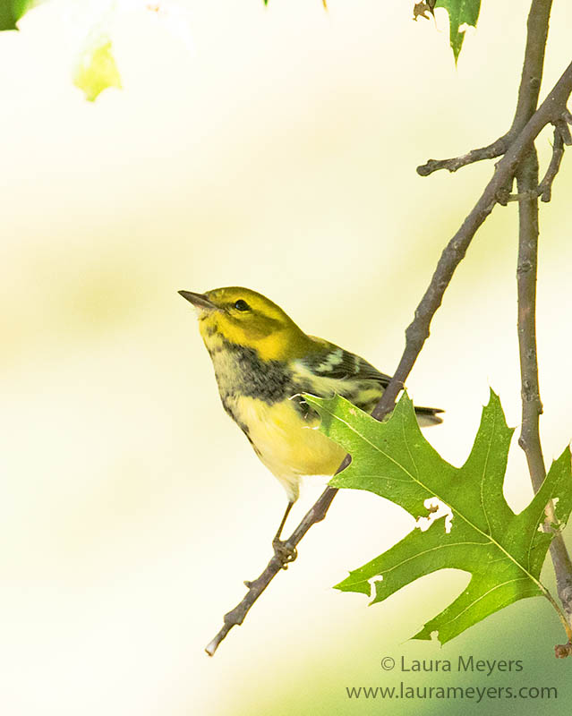Black-throated Green Warbler Fall
