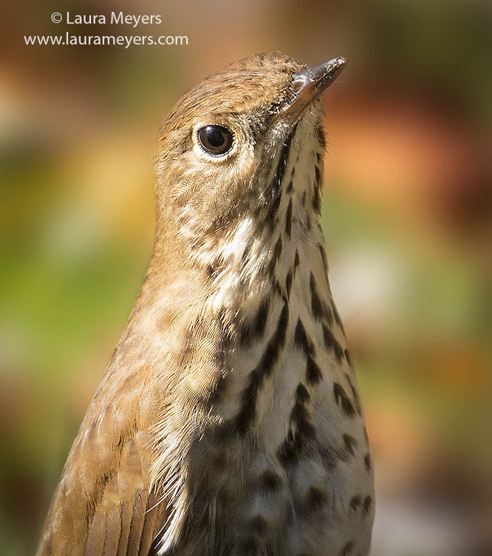 Hermit Thrush Closeup