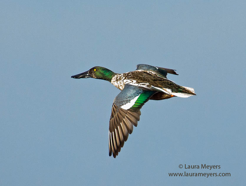 Northern Shoveler Drake in Flight