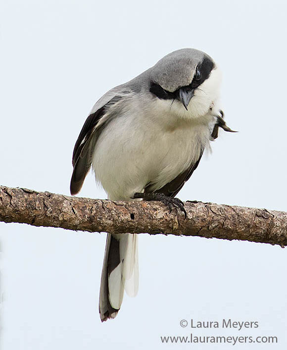 Loggerhead Shrike on branch photographed at Viera Wetlands.