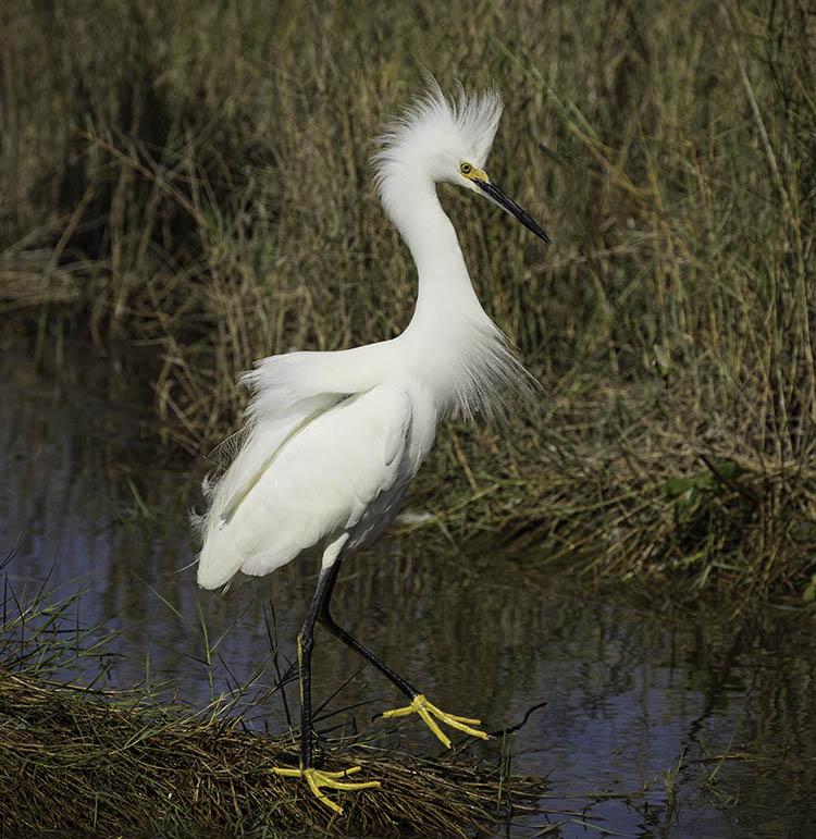 Snowy Egret Walking