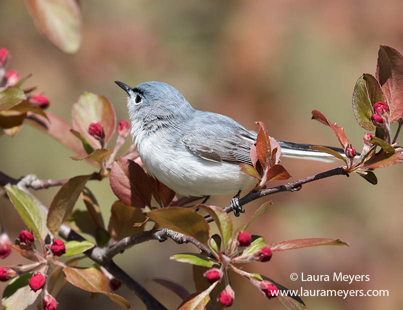 Blue-gray Gnatcatcher photographed at Green-wood Cemetery