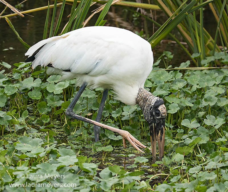 Wood Stork Foraging at Sweetwater Wetlands Park, Gainesville, Florida